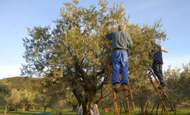 recolte-des-olives-Huile-Olive-en-France-2017-2018-