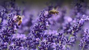 miel-provence-lavande-france