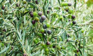 recolte-huile-olive-france-2018-2109