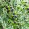 Début de la récolte des olives 2018-2019 : les tendances des crus de l'huile d'olive du midi de la France