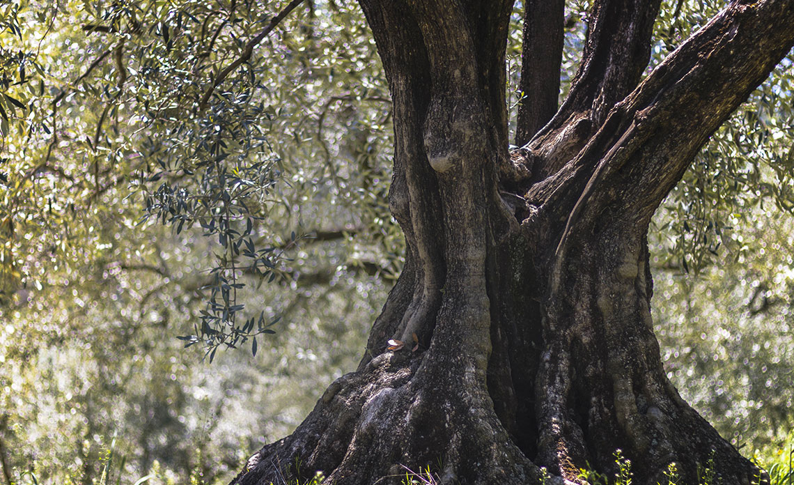 recolte-huile-olive-france-2018-2019
