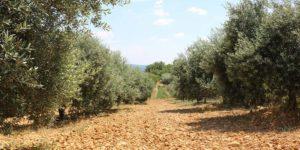 huile-olive-AOP-haute-provence-Bio-france-verdon-olive-enchantee-5