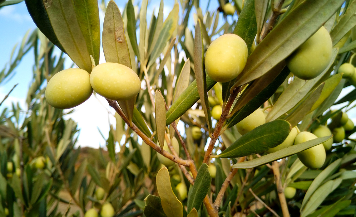 olive-de-table-provence