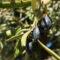 Les propriétés antioxydantes de l'huile d'olive vierge extra