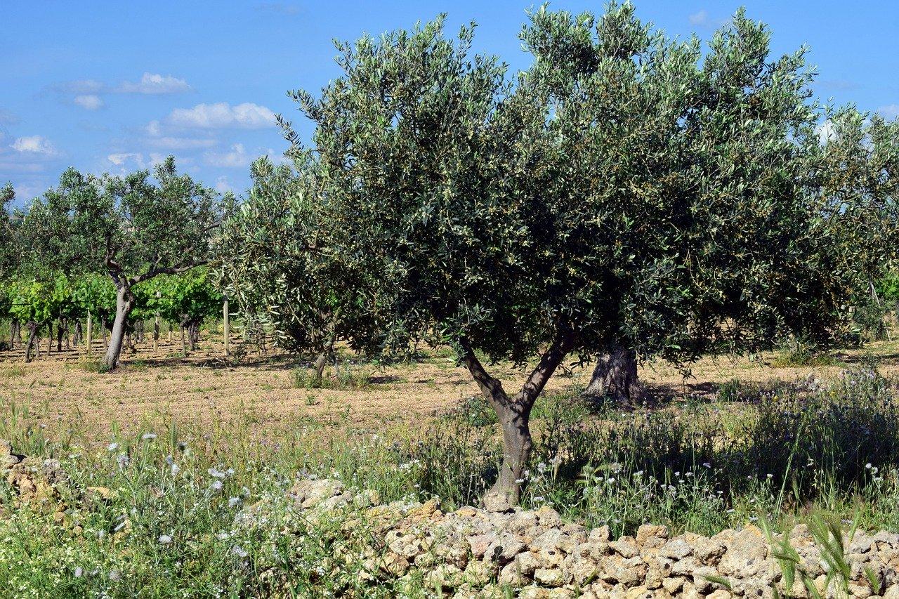 huile d'olive aop et aoc