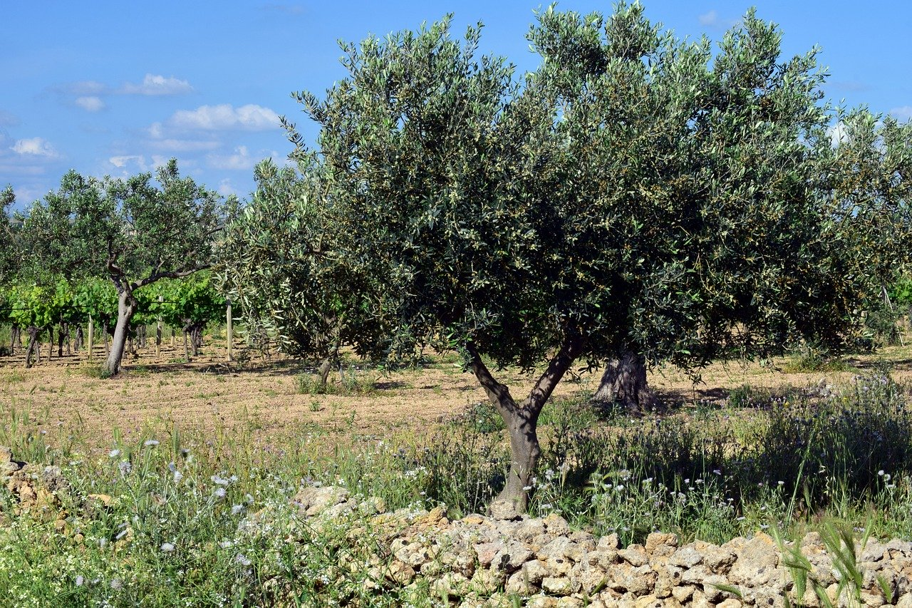 huile d'olive AOP AOC