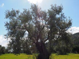 histoire et origine de l'huile d'olive