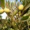Huile d'olive de France 2021 / 2022 : une récolte qui risque d'être faible à cause de la météo