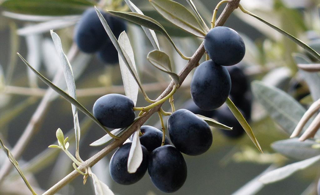 Zoom sur le moulin de Haute Provence et les huiles d'olives produites par la famille Fayant
