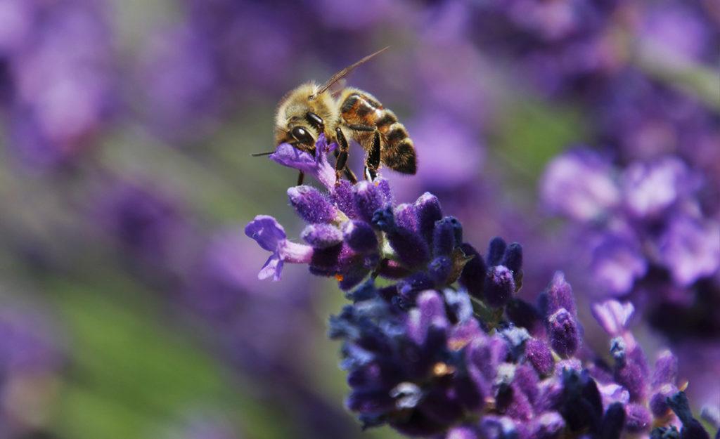 Bienfaits du miel de lavande