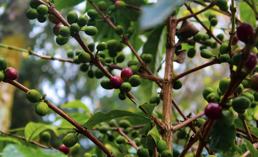 fruité d'une huile d'olive